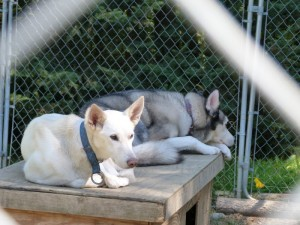 My dogs Aura and Fenway relax in one of the kennels