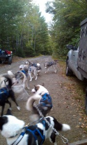 Dogs in harness waiting to be hooked up to the ATV