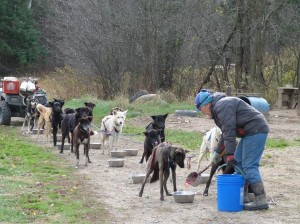 Jamie Nelson feeding her team of Alaskan Huskies